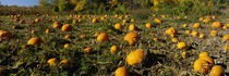 Field of ripe pumpkins, Kent County, Michigan, USA von Panoramic Images