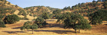 Oak trees on hill, Stanislaus County, California, USA by Panoramic Images