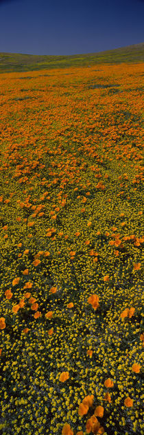 Wildflowers on a landscape, California, USA by Panoramic Images