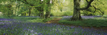 Bluebells in a forest, Thorp Perrow Arboretum, North Yorkshire, England by Panoramic Images