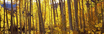 Aspen trees in autumn, Colorado, USA von Panoramic Images