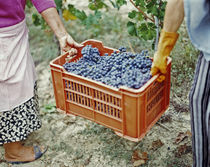 Women harvesting grapes in a vineyard, Barbaresco DOCG, Piedmont, Italy von Panoramic Images