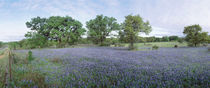 Field of Bluebonnet flowers, Texas, USA by Panoramic Images