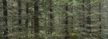 Trees in a forest, Spruce Forest, Joutseno, Finland von Panoramic Images