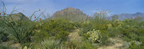 Ocotillo Plants In A Park, Big Bend National Park, Texas, USA by Panoramic Images