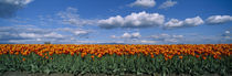 Clouds over a tulip field, Skagit Valley, Washington State, USA by Panoramic Images