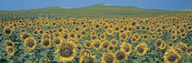 Sunflower field Andalucia Spain by Panoramic Images