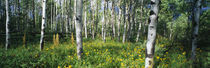 Field of Rocky Mountain Aspens by Panoramic Images