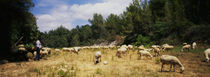 Flock of sheep grazing in a field, Sitges, Spain by Panoramic Images
