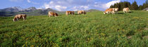Switzerland, Cows grazing in the field by Panoramic Images