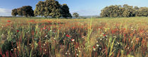 Wild flowers in a field, Andalucia, Spain von Panoramic Images