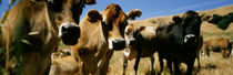 Close Up Of Cows, California, USA by Panoramic Images