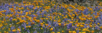 California Golden Poppies and Bush Lupines, Table Mountain, California, USA von Panoramic Images