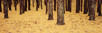 Low Section View Of Pine And Oak Trees, Cape Cod, Massachusetts, USA by Panoramic Images