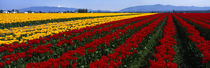 Tulip Field, Mount Vernon, Washington State, USA by Panoramic Images