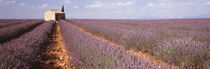 Lavender Field, Valensole Province, France by Panoramic Images