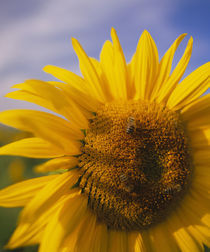 Close-up of a Sunflower (Helianthus annuus), Baden-Württemberg, Germany von Panoramic Images