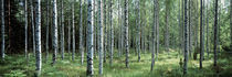 White Birches Aulanko National Park Finland von Panoramic Images