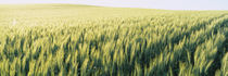 Field Of Barley, Whitman County, Washington State, USA by Panoramic Images