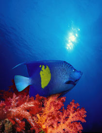 Yellow-Banded angelfish (Pomacanthus maculosus) with soft corals in the ocean von Panoramic Images