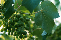 vine grape under the bright sun von Dmytro Tolokonov