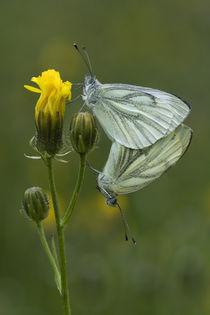 Schmetterlingsliebe 2 von Falko Follert
