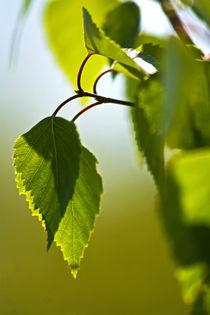 Birkenblätter im Frühling von stelda