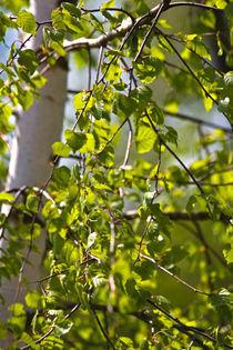 Frühlingsbirkengrün von stelda