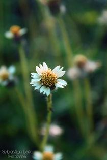 Small-daisy-final-2