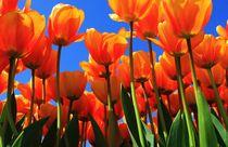 Tulips by Riza Aydan  Turak