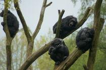 Schimpansengruppe auf Bäumen by Daniel Zschuckelt