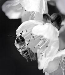 polenized wasp by Alexandre Gaillard