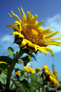 Sunflower-1-copy