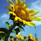 Sunflower-1-copy