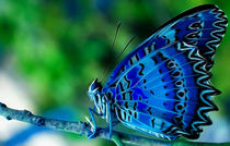 Blue Butterfly by lefeber