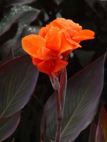 Canna-Hibitus-indische Pflanze by theresa-digitalkunst