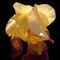 Translucent-iris-2
