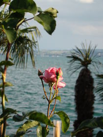 Rose am Bodensee by Ka Wegner