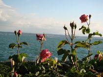 Bodensee Rose by Ka Wegner