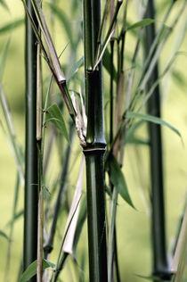 Bambus von Susann Mielke