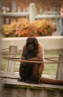 Woolly Monkey at the Louisville Zoo by Joseph Ullrich
