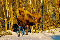 Moose in the Morning by Juergen Weiss