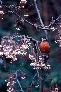 550afv4-robin-ash-berries-070626-002