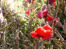 Sunlit poppy. by freak-of-nature