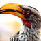 Yellowbilledhornbill