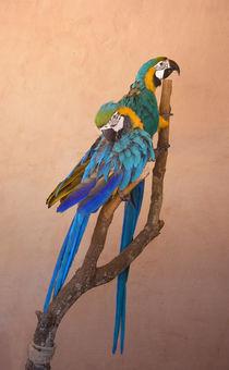 Papageienpaar by pahit