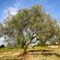 Olivenbaum-2-kroatien