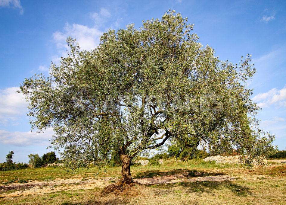 olivenbaum 2 kroatien fotografie als poster und. Black Bedroom Furniture Sets. Home Design Ideas