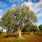 Olivenbaum-6-kroatien