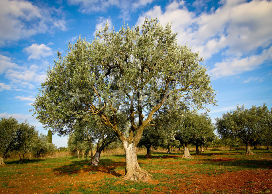 olivenbaum 6 kroatien fotografie als poster und kunstdruck von madison sydney bestellen. Black Bedroom Furniture Sets. Home Design Ideas